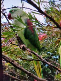 LOST ALEXANDRINE: 26/03/2018 - Rosemount, Queensland, QLD, Australia. Ref#: L43800 - #CritterAlert #LostPet #LostBird #LostParrot #MissingBird #MissingParrot #LostAlexandrine #MissingAlexandrine