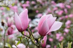 Incredibly beautiful, award-winning Magnolia 'Star Wars' is a small deciduous tree or large shrub adorned with a profusion of huge, fragrant, rosy-pink flowers in mid to late spring. Each blossom, up to 11 in. across (28 cm), counts 12 tepals that splay out gracefully as the flower matures.