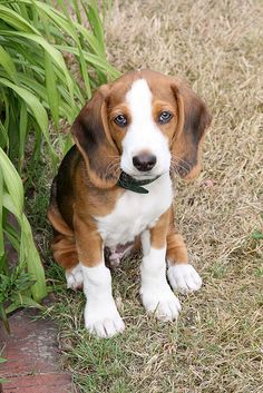 Deutsche Bracke, German Hound Dog
