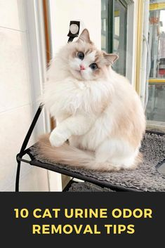 These cute kittens will bring you joy. Cats are amazing companions. Ragdoll Kittens, Cute Cats And Kittens, Kittens Cutest, Tabby Cats, Bengal Cats, Sphynx Cat, Pretty Cats, Beautiful Cats, Animals Beautiful