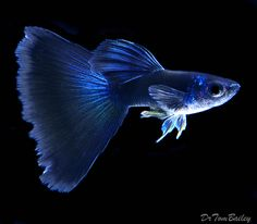 Male blue guppy