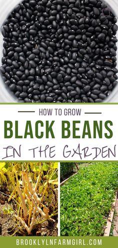 Growing Beans, Growing Veggies, Black Bean Plant, Bean Garden, Container Gardening Vegetables, Succulent Containers, Container Flowers, Container Plants, Vegetable Farming