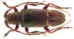 Family: Cerambycidae Size: 10.7 mm Location: Samoa, Malololelei leg Buxton & Hopkins, 1925, det. Aurivillius, 1928 Coll. Museum Stockholm reconstructed: replaced left sensor Photo: U.Schmidt, 2010