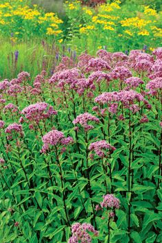 <em>Eupatorium maculatum</em> 'Purple Bush' (Joe Pye Weed)
