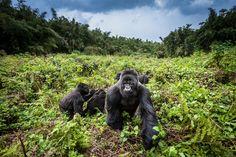Picture of gorillas in Volcanoes National Park, Rwanda