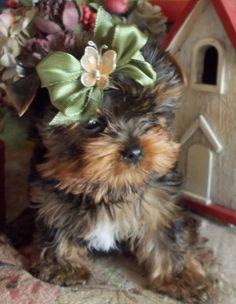 yorkie baby pup..