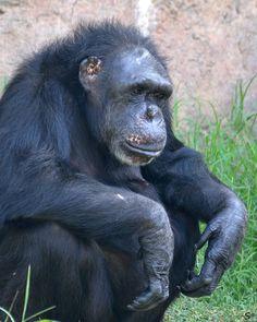 Audra- Chimpanzee by Steve Jones