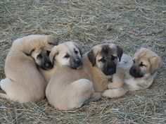 seriously Anatolian Shepherd Puppies, Shepherd Dogs, Cute Cats And Dogs, Dogs And Puppies, Kangal Dog, Baby Animals, Cute Animals, Dogs Of The World, Mans Best Friend