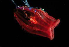 Unidentified species - Photo by Claire Nouvian