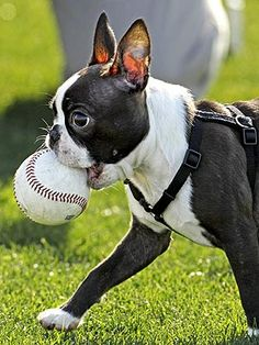 Is this baseball's newest south paw? In fact, it's Texas Rangers prospect Tanner Scheppers's French bulldog, getting on the field at a spring training workout in Surprise, Ariz.
