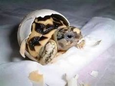 baby south african leopard tortoise