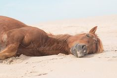 """Sun Drunk"" ~ by Natalie Buck from her 'Untamed Beauties' series of the Wild Assateague Ponies  Wild Assateague Pony  #wild #horse #horses #photography #assateague #Connecticut #Maryland #photographer #wildhorsephotography #pony #ponies #beach #ocean #summer"