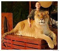 leones tigres - Buscar con Google