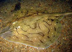 Raja undulata - Undulate Ray Marine Fish, Sharks, Fresh Water, Shark