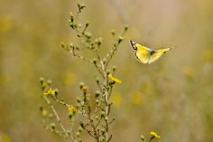 Butterfly, Round Valley.