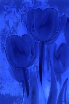 Tulips in Cobalt Blue - print of a photograph