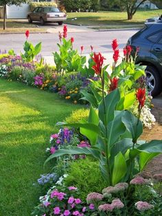 garden idea ~ colorful border with tall red celosias and fan-shaped tropical leaves with smaller flowers along the driveway