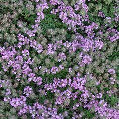 THYMUS praecox 'Minor' (Thym) : Tapissants ou arbustifs, ils n'ont pour seule exigence qu'un grand besoin de soleil. Leur feuillage est souvent aromatique. Ils apprécient les sols poreux et secs. Forme tapissante, très rase et compacte, à feuillage vert sombre, luisant. Fleurs lilacées. Dallage, muret, auge. Idéal pour jardins miniatures.