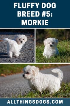 Originating in the the Morkie has become a popular lap dog, loved for its affection and confidence. The Morkie loves nothing more than curling up on the sofa at the end of the day. Read on to learn more about their parent breeds. White Kittens, Cats And Kittens, Ragdoll Kittens, Bengal Cats, Kitty Cats, Fluffy Dog Breeds, Fluffy Dogs, Corgi Husky Mix, Maltese Dog Breed