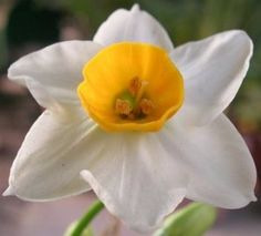 Daffodil Flower can be grown indoor in beautiful planters.