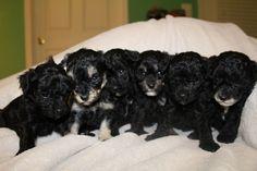 Maltipoo puppy for sale in JEFFERSONVILLE, IN. ADN-22042 on PuppyFinder.com Gender: Male. Age: 10 Weeks Old