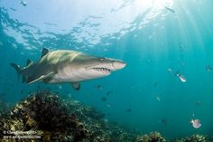 Sharks of Southern African expedition with Chris Fallows