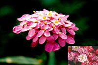 Candytuft - Perennial in warm areas. Grown as annual in colder regions. Grows in all regions of North America.