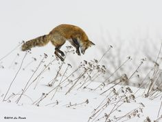 Canadian Wildlife Photography of the Year Competition | 1e. At the Apex #canada #wildlife #canadianwildlife #fox