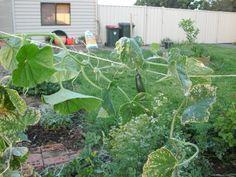 Milk & water to treat mildew on pumpkin, watermelon and cucumber vines