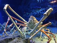 The Japanese spider crab is a species of marine crab that lives in the waters around Japan. The Japanese spider crab has the greatest leg span of any arthropod, reaching 3.8 metres (12 feet) from claw to claw. The body may grow to a size of 40 cm or 16 in (carapace width) and the whole crab can weigh up to 19 kilograms.