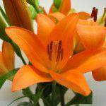 Eremo Asian Lilies, Lily, Plants, Orange, Orchids, Flora, Plant, Lilies