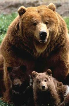 big momma--grizzly family