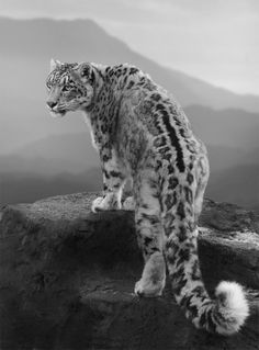 There's nothing I love more about snow leopards then their long tails and amazing pelts.