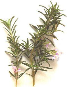 Rosemary herb = pet food neurotoxin