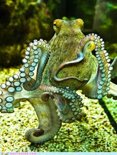 I'm totally wanting an octopus tattoo.hopefully the feeling passes before I commit to it<<<I'm not a tatoo type of person, but I seriously want an octopus or work in an aquarium Underwater Creatures, Underwater Life, Ocean Creatures, Underwater Pictures, Beautiful Creatures, Animals Beautiful, Cute Animals, Kraken, Fauna Marina