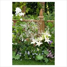 GAP Photos - Garden & Plant Picture Library - Border with Lilium, Gypsophila, Phlox, Isotoma, Alchemilla amd Rosa with wooden fence behind. 'The Albert Dock Garden'. Best Show Garden - RHS Tatton Flower Show 2010 - GAP Photos - Specialising in horticultural photography