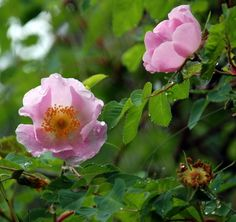 Wild Rose (State of Iowa Flower) # Beautiful  These used to grow in the ditch down the road from our farm