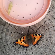 When I was a child, we used to rear butterflies. Caterpillars of peacock and small tortoiseshell butterflies eat stinging nettles, and that was where we found them. Where I live now I haven't seen any, but lately my kids got a jar with four caterpillars from grandad 😊. Just like me, they found it really cool - yesterday the butterflies hatched and we set them free. We even watched one getting out of the pupa 🆒 . . . . . #schmetterling #kleinerfuchs #schmetterlingezüchten #naturliebe… Butterfly Hatching, Watch One, Live In The Now, Peacock, Butterflies, Jar, Child, Cool Stuff, Kids