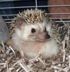 """My hedgehog...""""Cookie"""""""