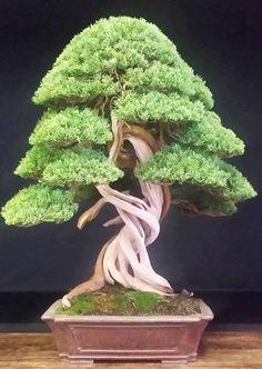 Bankan (coiled) deadwood bonsai