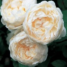 "Glamis Castle - English Rose, myrrh fragrance.  ""Glamis Castle is the childhood home of The Queen Mother and the legendary setting of Shakespeare¹s play 'Macbeth'."""