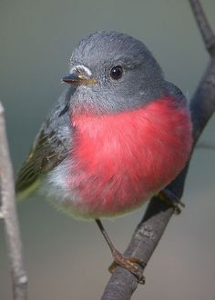 Rose Robin, Ambrose by David Jenkins Cute Birds, Small Birds, Pretty Birds, Little Birds, Colorful Birds, Beautiful Birds, Animals Beautiful, Tiny Bird, Beautiful Pictures