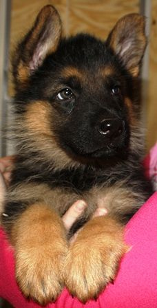 r u talking to me ?, cause if u r talking to me ? i am talking to u  a GSD puppy starting 2 talk