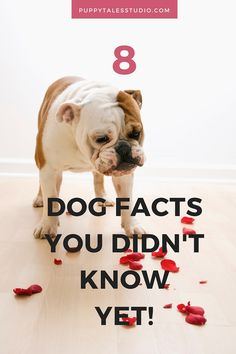 8 Dog facts you did not know.. Yet! Did you know that only three dogs survived the sinking of the Titanic? Two Pomeranians and one Pekingese. They were First Class Members! Click through to read these other dog-related fun facts!
