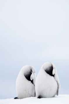 Two Emperor Penguin Chicks Resting, Snow Hill Island, Antarctica   by Daisy Gilardini