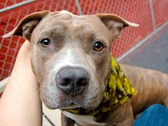 TO BE DESTROYED 09/25/14 - Manhattan Center   BALBOA - A1014655  *** EXPERIENCED HOME ***  MALE, BR BRINDLE, PIT BULL MIX, 1 yr, 5 mos STRAY - STRAY WAIT, NO HOLD Reason STRAY  Intake condition UNSPECIFIE Intake Date 09/19/2014, From NY 10024, DueOut Date 09/22/2014, I came in with Group/Litter #K14-194902.