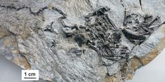 Pappochelys rosinae fossils.  Post cranial fossil material including the thickened trunk ribs.  How did turtles evolve?