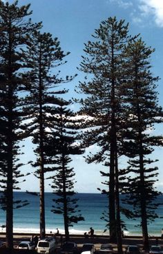 Norfolk pines - so great that these were planted along Australian beaches