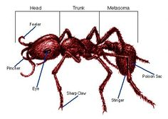 Diagram of the anatomy of ants, body parts of ants.
