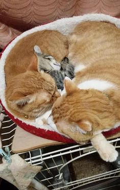 Fantastic funny cats information are offered on our site. Check it out and you wont be sorry you did. Cute Baby Animals, Animals And Pets, Funny Animals, I Love Cats, Cute Cats, Funny Cats, Crazy Cat Lady, Crazy Cats, Hello Kitten